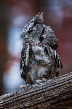 Grey Eastern Screech Owl by ryangallagherart