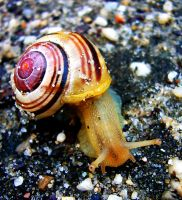 The White-Lipped Snail - Cepaea hortensis  by WanderingMogwai