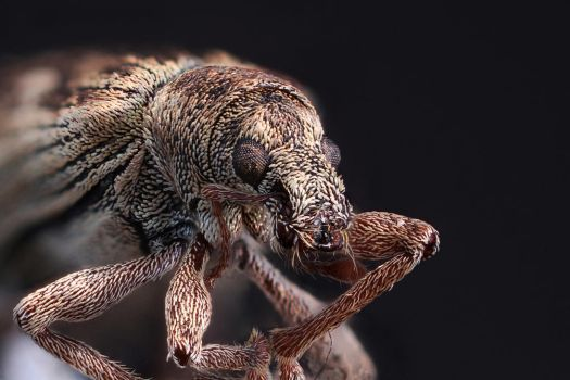 Some kind of weevil by Azph