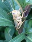 A grasshopper in the flower bush by Scarletcat1