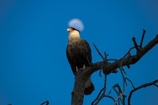 Holy caracara by boanergesjr