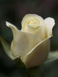 white rosey by mohaganbev