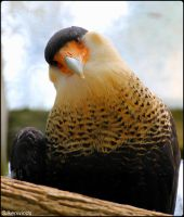 I Am The Crested CaraCara by SilkenWinds