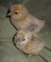 My Silkie Baby Beauties by LilleahWest