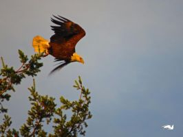 Eagle Dropping Off. by wolfwings1