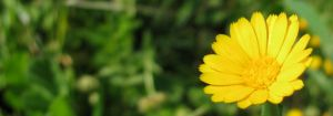 Field Marigold by dracontes
