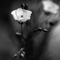 flower by julie-rc