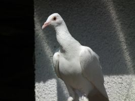 Village Dove by ZcoogerChannel