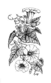Botanical Book: Hedge Bindweed by Vermin-Star