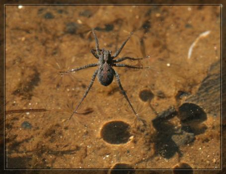 Fishing Spider 20D0045937 by Cristian-M