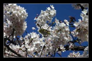 Bird in the blossom 1 by Keith-Killer