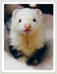 Dorito My Ferret by Zakkupotta