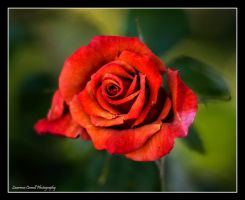 A single red rose by LordLJCornellPhotos
