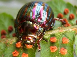 Chrysolina americana 23 by Iris-cup