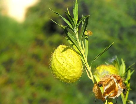 Balloon-plant by floramelitensis