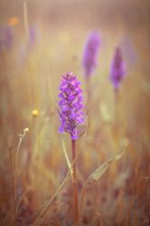 Common Spotted Orchid by WorldII