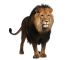 Pre-cut Lion 2 by Moonglowlilly