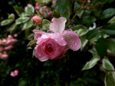 Rose after Rain by LillyPilly98