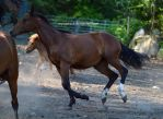 Bay quarter horse yearling canter by equustock