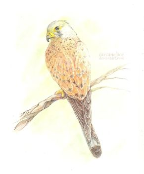 Kestrel by Carcaneloce