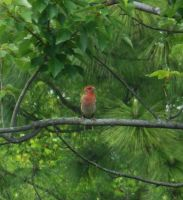 Red Finch 4 by AlissaDStock
