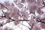 D.C. Cherry Blossoms (1) by KuroTheFoxy