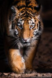 Little tiger on the prowl by Wild-Lweek
