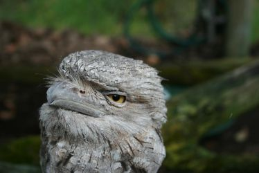 Tawny Frogmouth Owl 3 by shhhhh-art-Stock
