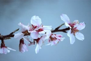 Almond Blossoms No. 4 by OfTheDunes