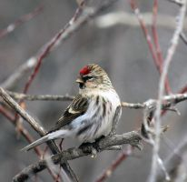 Redpoll by sgt-slaughter