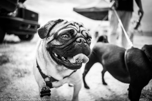 Pug Life by RobieBlair