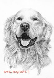Drawing Golden Retriever by mo62