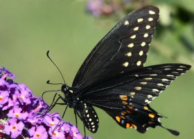 Black Swallowtail by papatheo