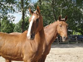 Two chestnut horses by Horselover60-Stock