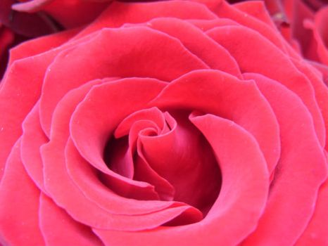 Rose Series 5 by Stephy--Stock