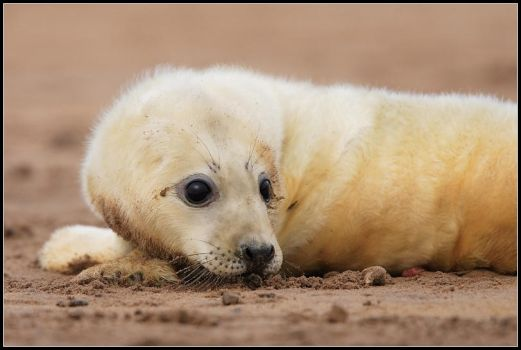 Newborn Grey Seal Pup by nitsch