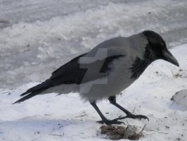 Hooded Crow 1 (4/5) by SoulFullOfSadness