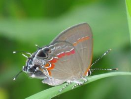Beautiful Little Hairstreak by Larah88