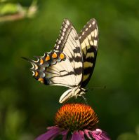 Eastern Tiger Swallowtail by MegnRox15