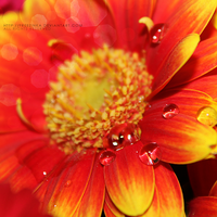 Gerbera drops...3 by freezinka