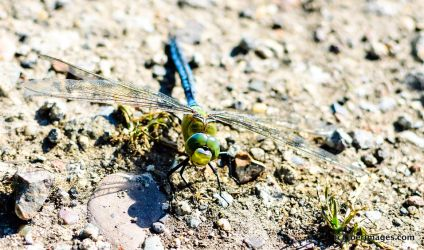 Dragonfly by joerimages