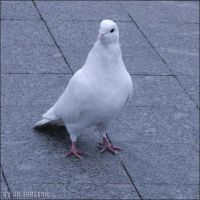 Dove On The Stone by doctor-surgeon