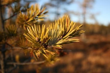 Pine Needles by Nikolad92