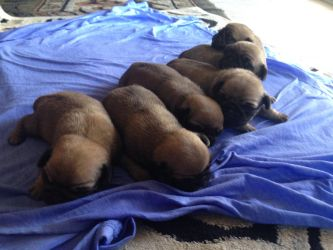6 puppies  by Pinkwolfly