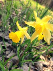 Golden Daffodils by LiveInAMoment