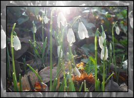 snow drops by czakalwe