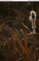 Cattail 1 by RoonToo