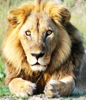 Lion : Africa 6 by shrimpeth
