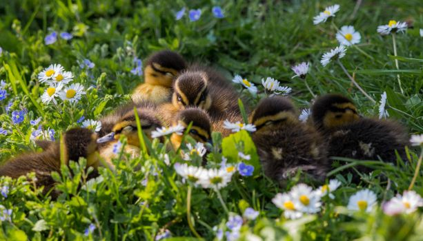 Day-old Ducklings by Mincingyoda