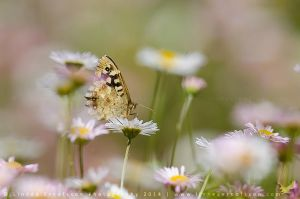 Speckled Wood by linneaphoto